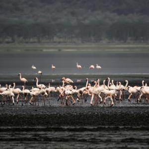 FLAMINGO`S AT LAKE NAKURU KENYA - 2